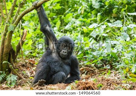 baby gorilla in wild on Uganda. animal in nature. - stock photo