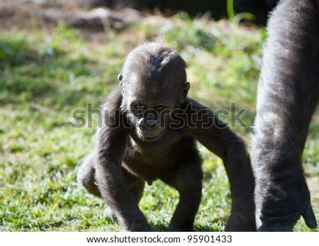 Baby Gorilla playing by himself