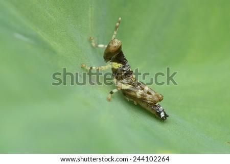 Baby Grasshopper - stock photo