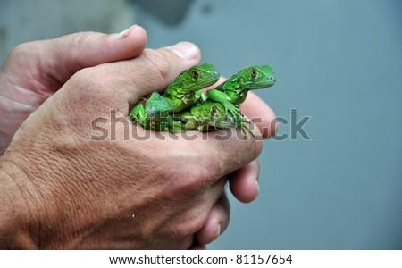 Baby Green Iguanas - stock photo