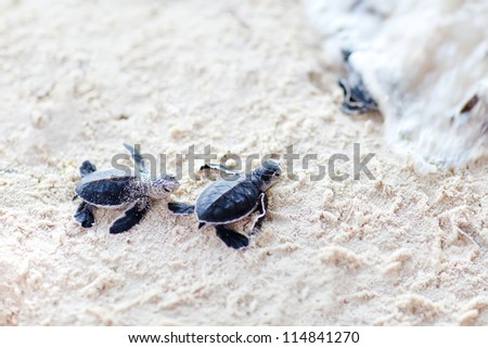 Baby green turtles moving towards the ocean - stock photo