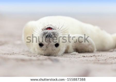Baby Grey Seal (Halichoerus grypus) Relaxing headlong on the Beach  - stock photo