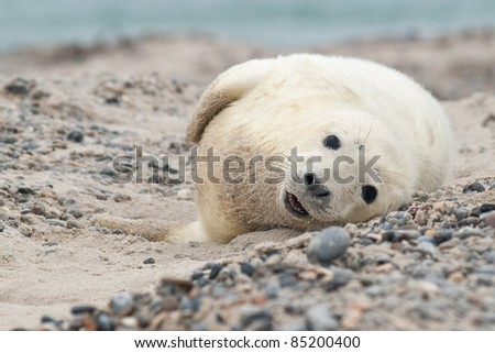 Baby Grey Seal (Halichoerus grypus) Relaxing on the Beach - stock photo