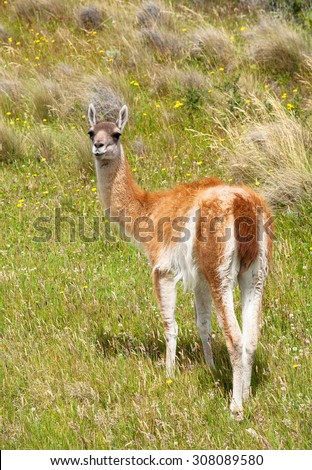 Baby Guanaco at Torres del Paine National Park, Chile