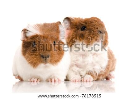 baby guinea pig - stock photo