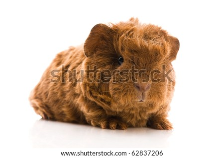 baby guinea pig isolated on the white - stock photo