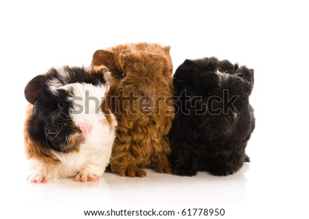 baby guinea pigs isolated on the white - stock photo