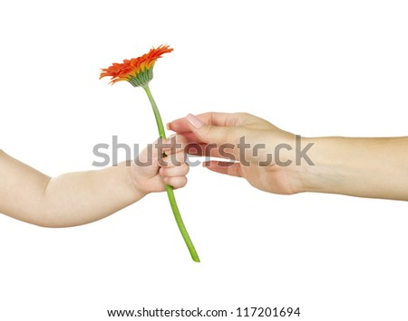 baby hand  holding red gerber daisy isolated on white - stock photo