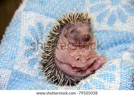 Baby Hedgehog (Erinaceus roumanicus) - stock photo