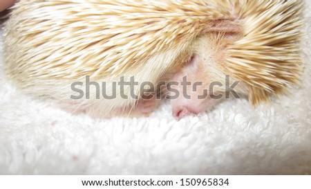 Baby hedgehog sweet dreams - stock photo