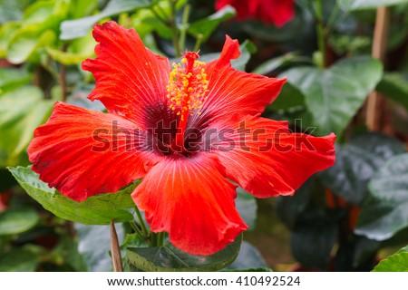 Baby hibiscus flower at Queen Sirikit Botanic Garden, Cameron Highland, Malaysia. Shallow DOF. - stock photo