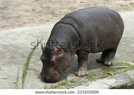Baby hippo eats green grass in zoo - stock photo