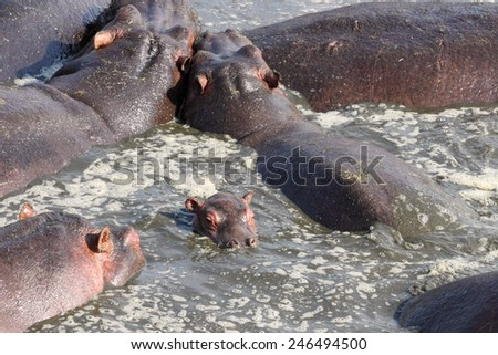 Baby hippo (Hippopotamus amphibius) in the middle of other adults in a pool in Serengeti National Park, Tanzania - stock photo
