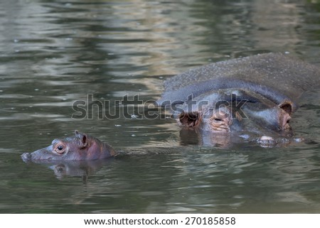 baby hippopotamus close up portrait