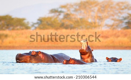Baby hippopotamus coming out of water as it yawns, South Africa - stock photo
