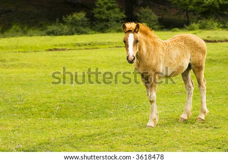 Baby horse looking at me. - stock photo
