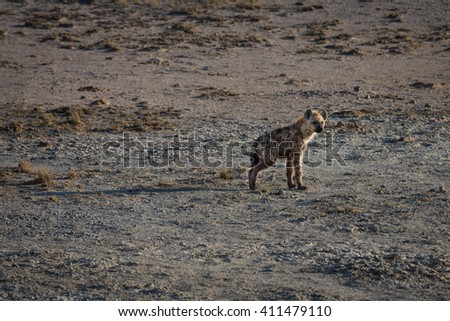 Baby hyena standing alone on the open planes of Etosha national park, Namibia. With a broken leg