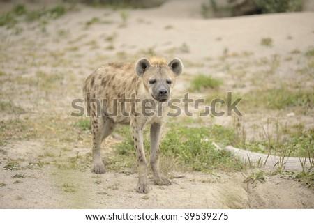 Baby hyena standing in the desert - stock photo