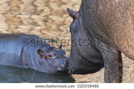 baby hyppopotamus close up portrait - stock photo