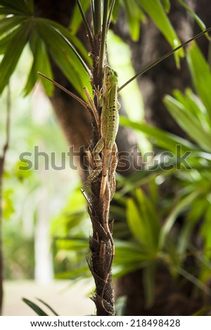 Baby iguana hilds camouflaged on the stem of a plant - stock photo