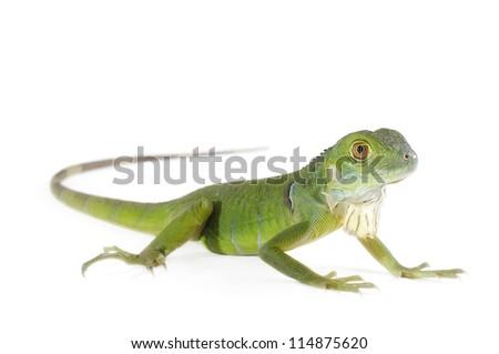 Baby iguana isolated on white background. - stock photo