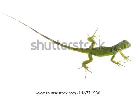 Baby Iguana on white background. - stock photo