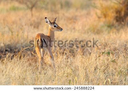 Baby impala, Aepyceros melampus, in savannah in Serengeti National Park, Tanzania - stock photo