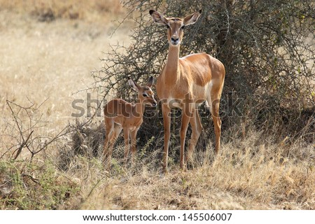 Baby impala with his mother (Aepyceros melampus)