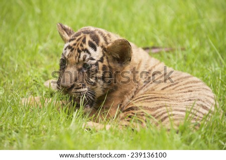 Baby Indochinese tiger plays on the grass. The Indochinese tiger (Panthera tigris corbetti) is a tiger subspecies found in the Indochina region of Southeastern Asia. - stock photo