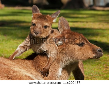 Cute baby kangaroo in pouch