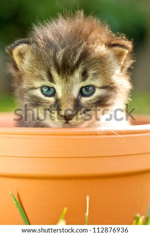 Baby kitty cat in the pot