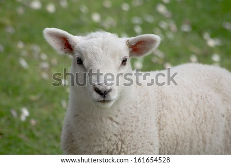 Baby Lamb in a Meadow With White Flowers
