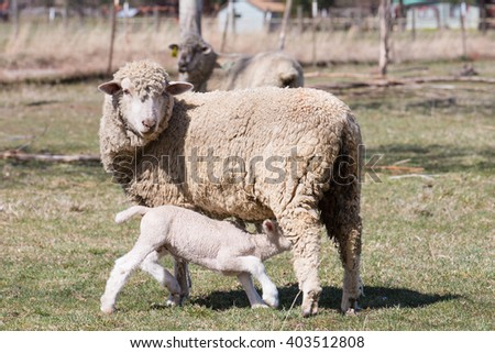 Baby lamb nursing from his Mother - stock photo