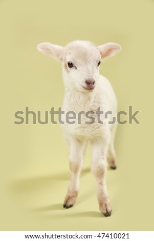 Baby lamb on a soft spring green background.