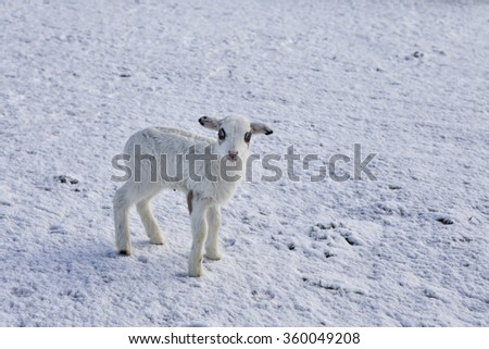 Baby lamb standing in the snow - stock photo