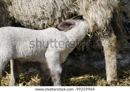 Baby Lamb with Mother; single adorable baby lamb, feeding from its mother - stock photo
