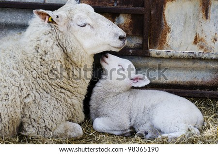 Baby Lamb with Mother; single adorable baby lamb, with its proud mother - stock photo