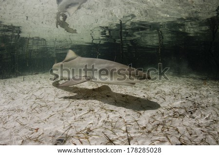 Baby Lemon Shark - stock photo