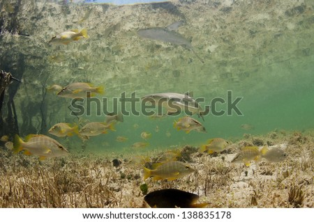 Baby lemon shark in mangrove forest in the Bahamas - stock photo