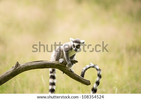 baby lemur perched on a branch/Baby Lemur - stock photo