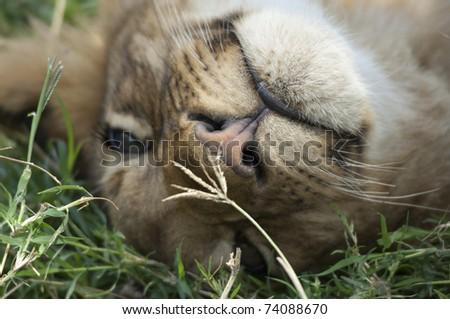 Baby lion enjoys to rest - stock photo