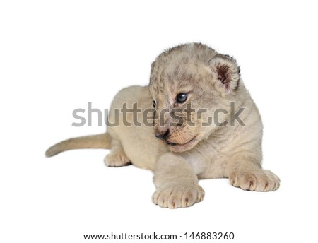 baby lion isolated on a white background
