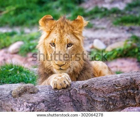 Baby Lion on rocks - stock photo