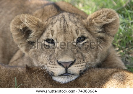 Baby lion resting on other baby lion - stock photo