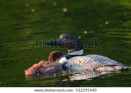 Baby Loon Chick begging parent for food. Common Loon in breeding plumage on a north woods lake in Wisconsin.