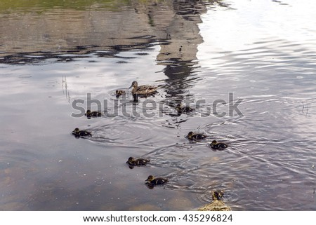 Baby Mallard ducks and ducklings in river - stock photo