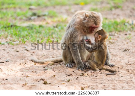 baby monkey hold the mother mokey breast in the park