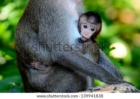 Baby monkey sucking breast milk.Khao Kheow Open Zoo,Thailand - stock photo