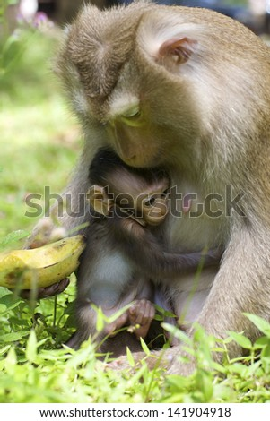 Baby monkey with mother in the wild