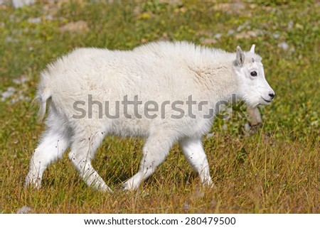 Baby Mountain Goat in an Alpine Meadow near Hidden Lake in Glacier National Park in Montana - stock photo